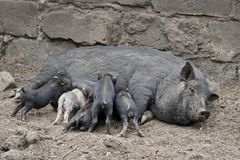 Little dirty pigs stock photography
