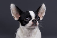 Little dog Royalty Free Stock Image