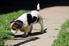 Little dog. A small dog in the yard Royalty Free Stock Photography