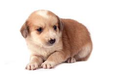 Little dog. Little cute dog, isolated on white background Royalty Free Stock Photography