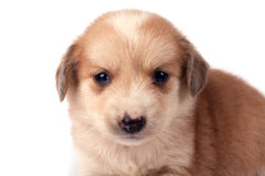 Little dog. Portrait of a little cute dog, isolated on white background royalty free stock photos