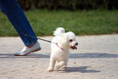 Little Dog. On a leash royalty free stock photo