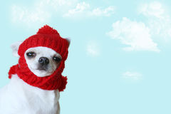 Little dog. Funny little Chihuahua wearing a woolen winter hat Royalty Free Stock Photo