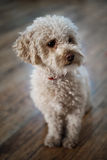 Little dog. Little fluffy dog sitting on the floor. Shallow DOF Stock Photo