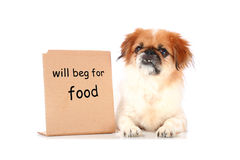 Little dog. Royalty Free Stock Photography