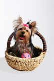 Little dog. York-terrier is in the basket Stock Photos