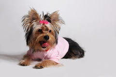 Little dog. York-terrier is wearing clothers Stock Image
