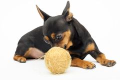 Little dog. Isolated dog with a hank of gold threads Royalty Free Stock Images