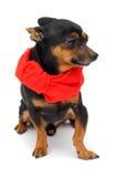 Little dog. Funny dog. isolated on white Royalty Free Stock Photo