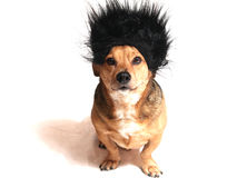 Little dog. A little dog with the beard black Stock Images
