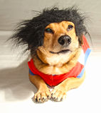 Little dog. A little dog with the hair black Royalty Free Stock Photos
