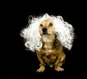 Little dog. A little dog with the hair white Stock Images