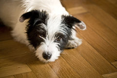 Little Dog. Little terrier laying down on the floor Royalty Free Stock Photos