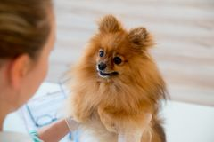 Dog with a vet. Little dog on appointment with a vet Royalty Free Stock Photo