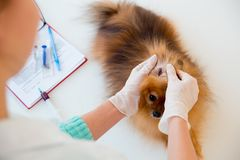 Dog with a vet. Little dog on appointment with a vet Stock Images