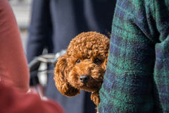 Little Dog in Arm royalty free stock image