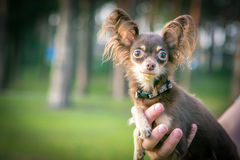 Little Dog on the arms. Russian Toy Terrier dog on the arms Royalty Free Stock Photo