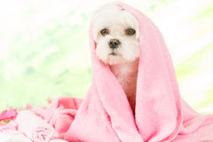 Free Little Dog At Spa Royalty Free Stock Image - 72248826