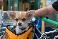 Dog accompanies in the shopping cart. Little dog attentively sits in a shopping cart holder - close-up royalty free stock photos