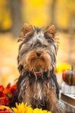 Little dog in autumn park Stock Photo
