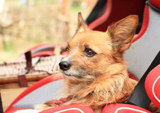 Little dog in baby car seat Stock Images