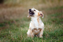 Little dog barking Royalty Free Stock Image