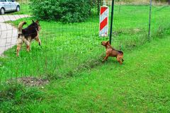 Little dog barks stock photo