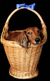 Little dog in a basket. Presented as a birthday gift stock image