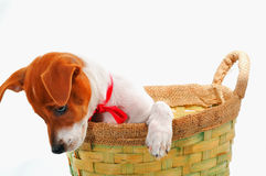 Little dog in a basket Royalty Free Stock Image
