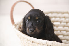 Little Dog in Basket Stock Photo