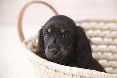 Little Dog in Basket. A black dog in basket stock photo