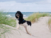 Little dog at beach stock photography