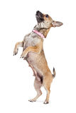 Little Dog Begging Side View Royalty Free Stock Image