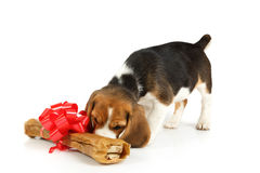Little dog with big bone present Royalty Free Stock Photos