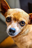 Little dog with expressive eyes. Cute little chihuahua with expressive eyes looking at the camera Stock Image