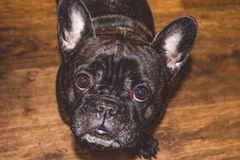 Little dog of black color with lovely eyes and large ears. Wrinkled muzzle. Pedigree. Breed of Kan Corso, French bulldog. Pet. stock image