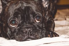 Little dog of black color with lovely eyes and large ears. Wrinkled muzzle. Pedigree. Breed of Kan Corso, French bulldog. Pet. stock photo