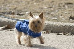 Little dog blue coat. A little terrier dog in a blue coat royalty free stock photography