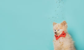 Little dog with bow . space for text Stock Image