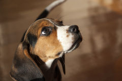 Little Dog - Breed Beagle Royalty Free Stock Images