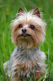 Little dog breed Yorkshire terrier sitting on the grass Royalty Free Stock Images