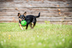 Little dog brings toy Stock Image