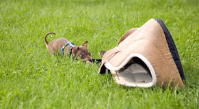 Little dog called toy terrier and grass. Little dog called toy terrier is playing in green grass Stock Images