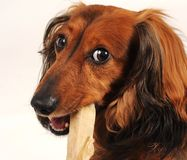 Little dog chewing on dogsnack Royalty Free Stock Image