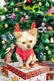 Little dog Chihuahua in deer horns and a Christmas costume on the background of the Christmas tree royalty free stock photo