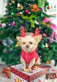 Little dog Chihuahua in deer horns and a Christmas costume on the background of the Christmas tree stock photography