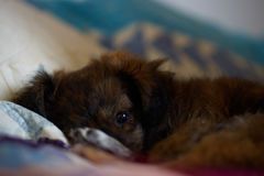 Little dog. Close  up of a pet lying on a bed Royalty Free Stock Image