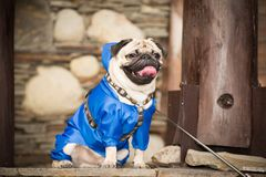 Dog in clothes. Little dog in clothes for a walk Stock Photography