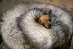 Little dog with cold in winter with fox skin. Protection Royalty Free Stock Photos