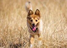 Little dog in corn field Stock Photo
